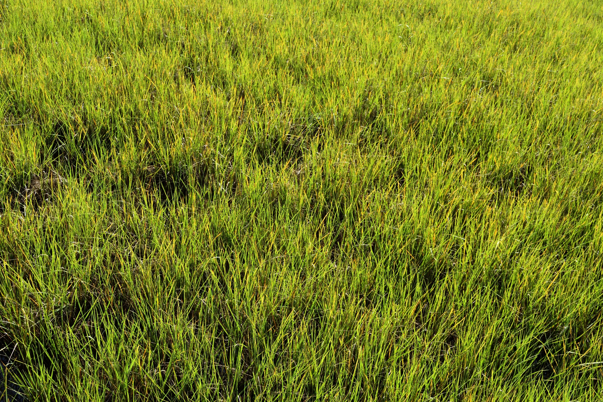 swamp-grass